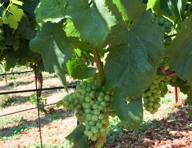 Bunches of grapes hanging from the vine at Domaine Carneros in the Napa Valley in California