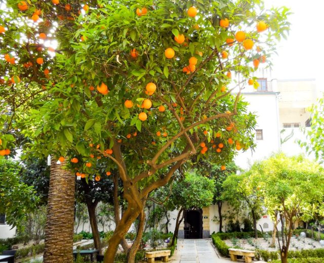 Citrus in a patio in Cordoba Spain