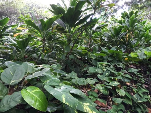 Lush green vegetation on Maui, Hawaii