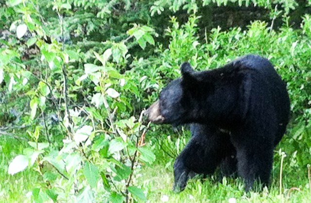 Watching for wildlife is one of the most fun things to do in Lake Louise!