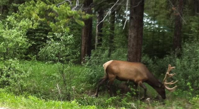 Elk in Banff National Park Alberta Canada