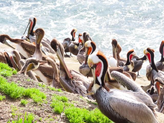 California Brown Pelicans La Jolla Cove California