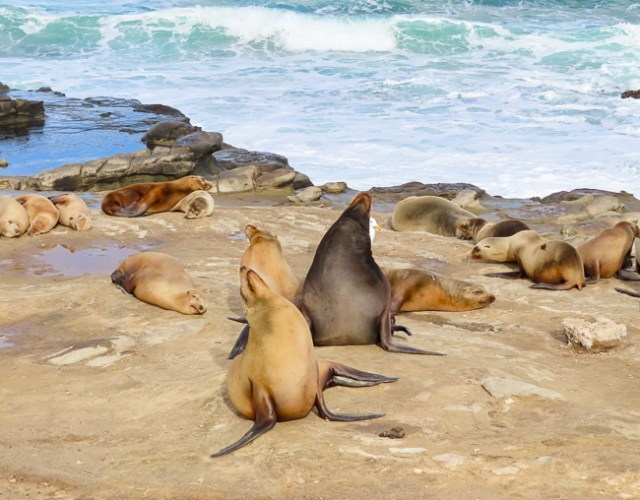 Sea lions at La Jolla Cove, California