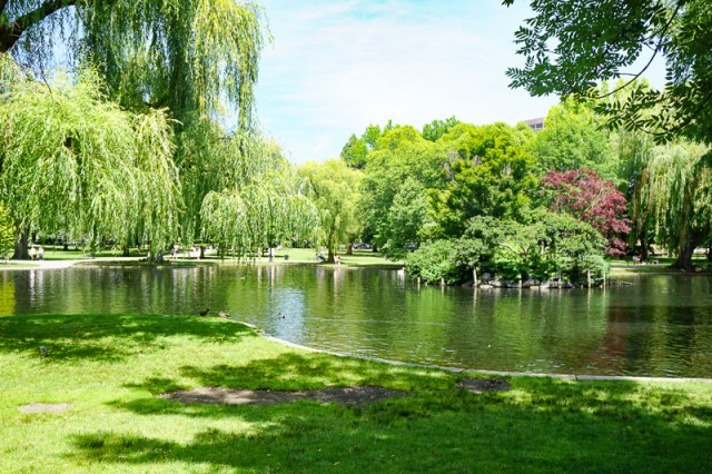 Trees in the Boston Public Garden