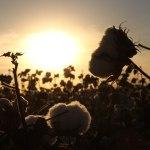 Le coton bio, notre allié…