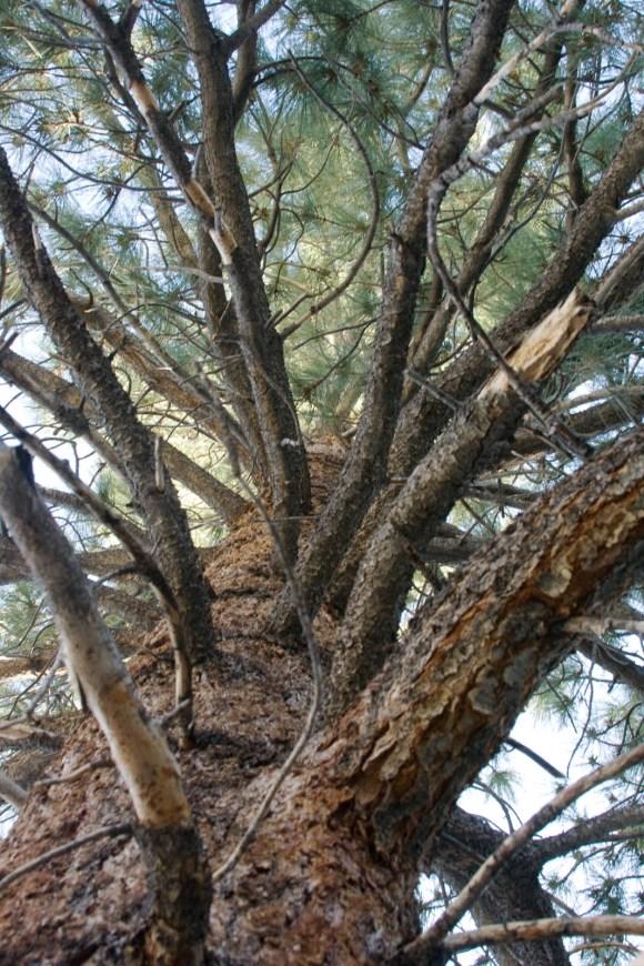 Trees in Bishoop