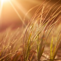 Wheatgrass Blows in Empty Fields