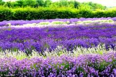 Lavender Fields 6