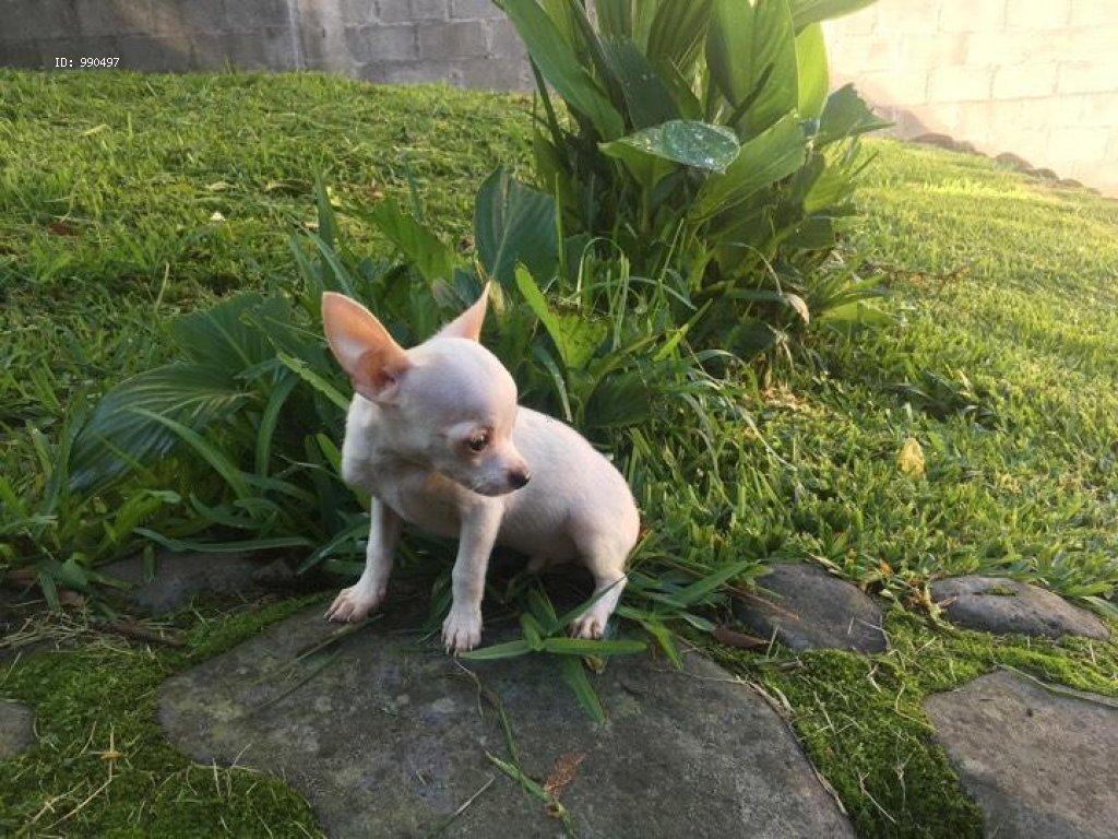 Perros De Bolsillo: Conoce las razas pequeñas más populares