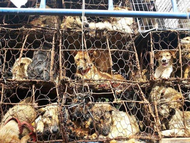 donna-saves-100-cani-Yulin-12