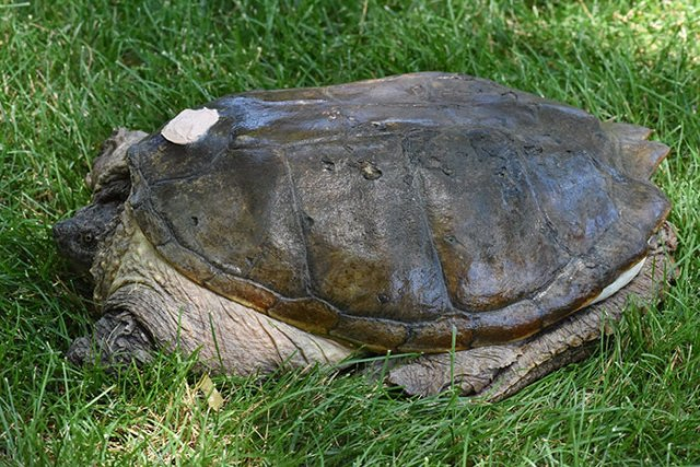 tartaruga recuperata