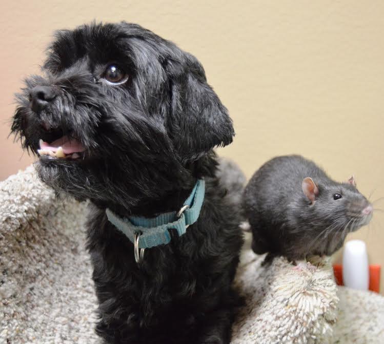 Perro y rata