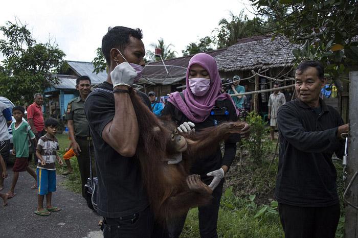 El orangután Kotap