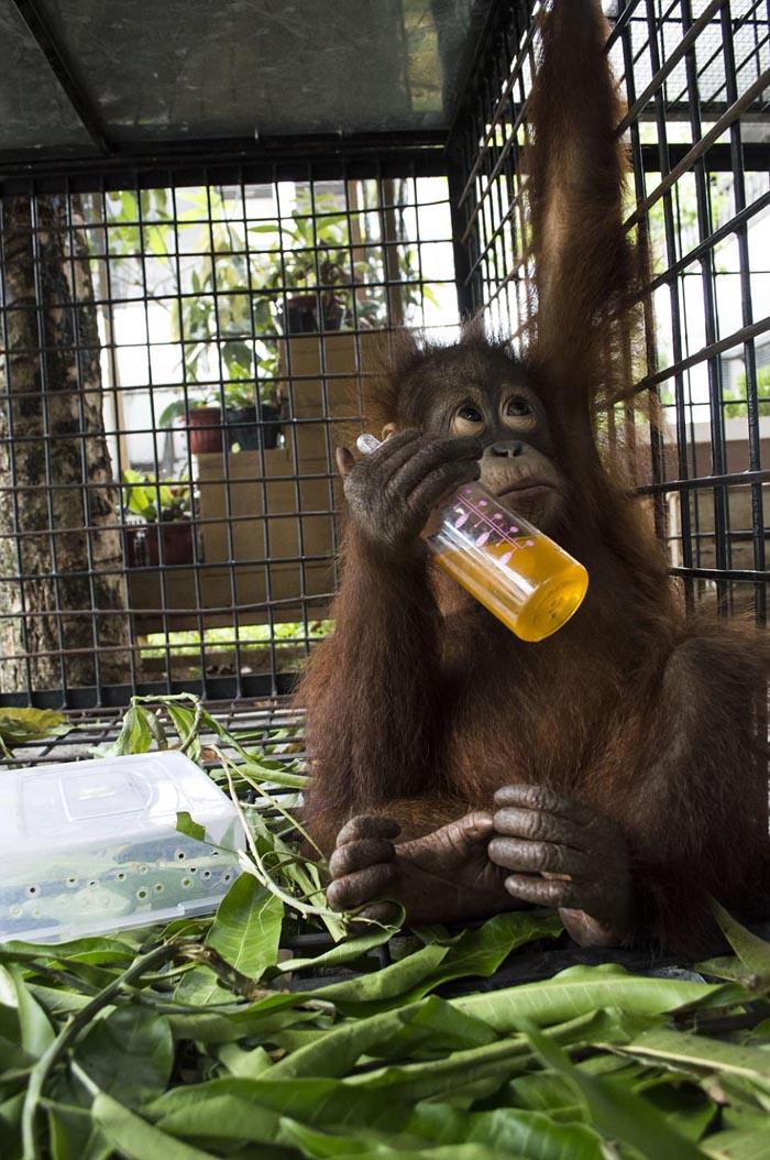 El orangután fue liberado y pronto tendra una nueva vida
