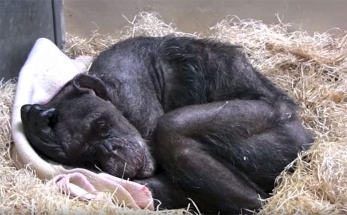 Chimpanzé doente não queria comer e reconhece a voz de seu antigo zelador