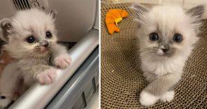 Gatita cautivó corazones con su encantadora personalidad y se convierte en una hermosa gata esponjosa