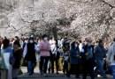Japón registra la floración de cerezos más temprana en 1.200 años. Científicos advierten que es una señal de una crisis climática mayor