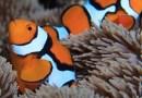 Estudio revela el secreto de la velocidad con la que el pez payaso adquiere sus rayas