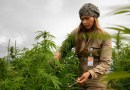 Empresa de cannabis que cultiva marihuana en Colombia sale a la bolsa en EE.UU.