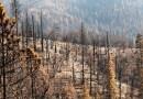 Al menos el 10% de las secuoyas gigantes del mundo se perdió en un solo incendio, sugiere un informe
