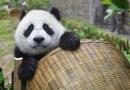 Los pandas gigantes ya no están en peligro de extinción, gracias a los esfuerzos de conservación, dice China