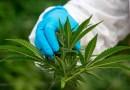 Marihuana legal: los países de América que han legalizado el uso del cannabis y los que no