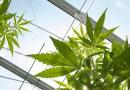 Asamblea Nacional de Panamá aprueba ley para uso medicinal del cannabis