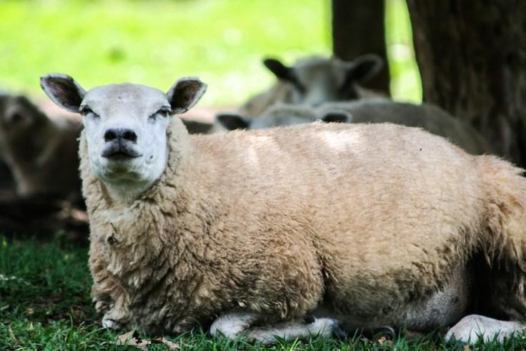 sheep-528523_960_720