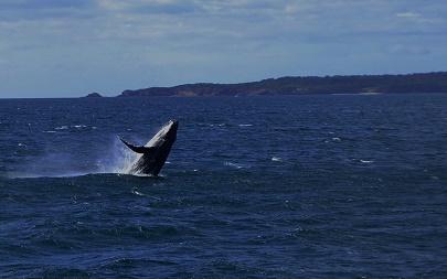 walvis-breaching-whale-australie-eden