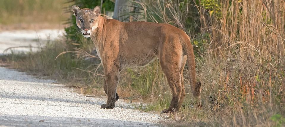 We spotted a Florida panther from the Disney Skyliner