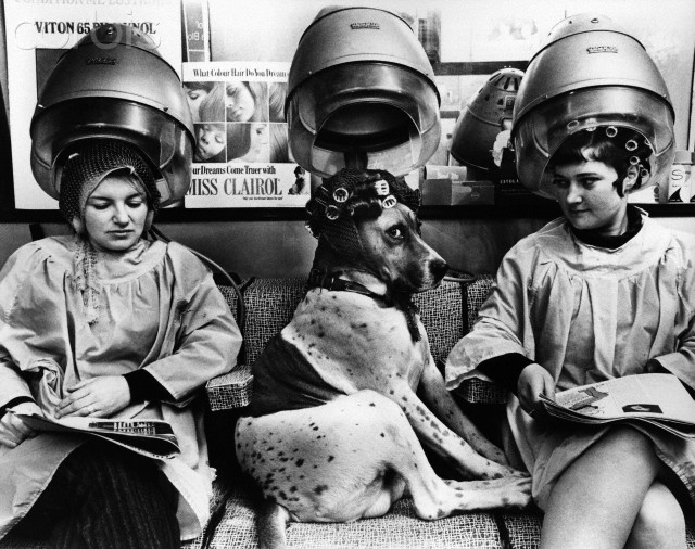 1978, London, England, UK --- A dog, wearing a wig and rollers, sits beneath a hair-dryer between two customers in a London hairdresser's salon. --- Image by © John Drysdale/CORBIS
