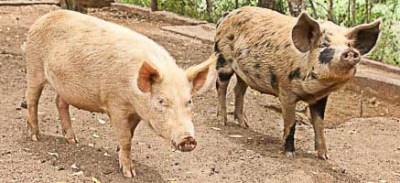 pig_farm