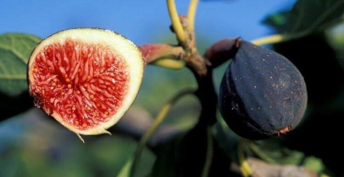 kandungan nutrisi yang terdapat dalam buah tin