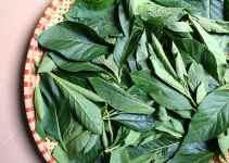 manfaat daun afrika untuk kesehatan