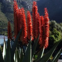 The Bitter Aloe - Widespread and Adaptable