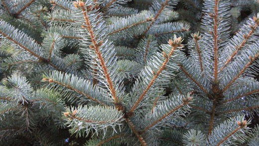 pinetree closeup