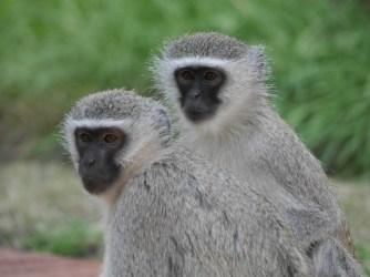 Monkeys at Tau (not on safari)
