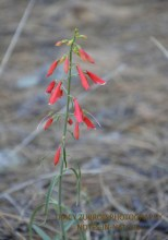 FIRECRACKER PENSTEMON