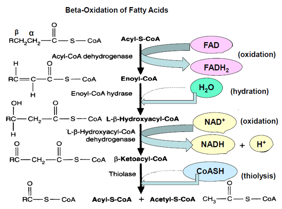 Read more about the article β-oxidation of fatty acids: Oxidation of palmitoyl CoA