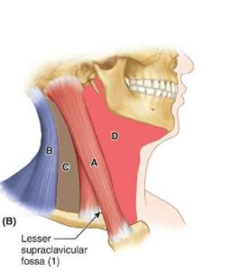 Read more about the article Sternocleidomastoid muscle: Origin| Insertion| Applied anatomy