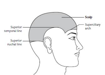 Read more about the article Scalp: Extent, Layers, Blood supply, Nerve supply, Applied anatomy