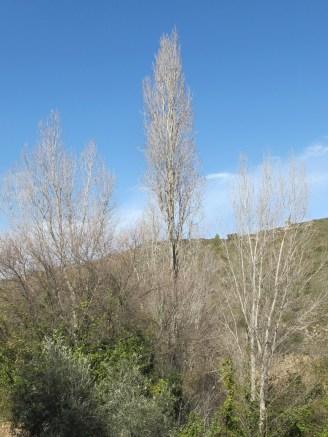 poplars, still silver 11-2-15
