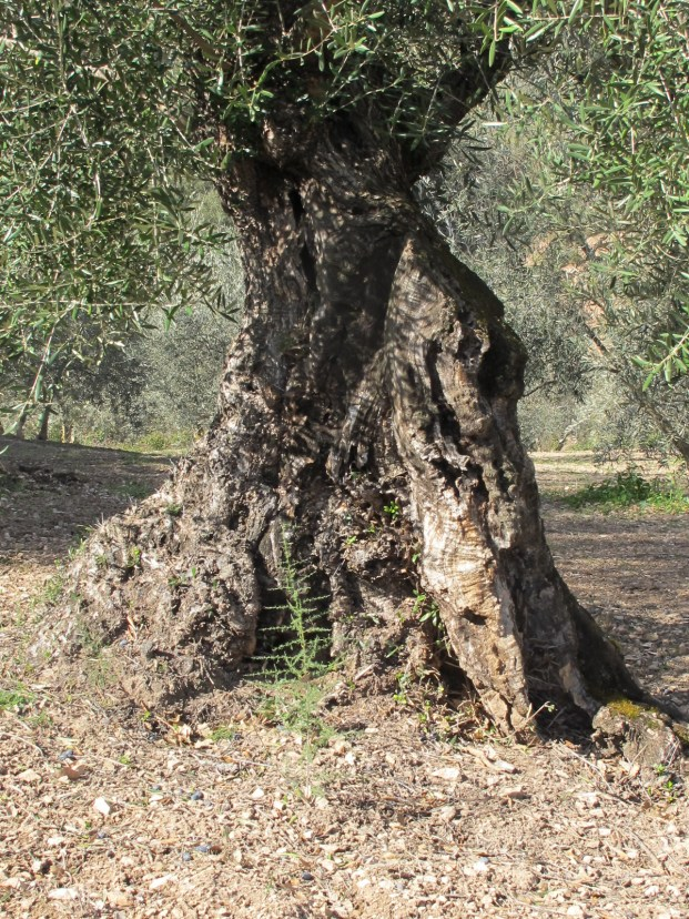 olive tree, triangular shaped trunk 11-2-15