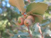 acorns1 27-7-15