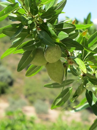 almonds on the tree 17-6-15