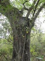 holm oak7 14-4-15