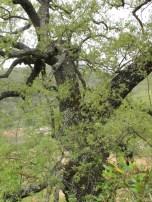 holm oak8 14-4-15