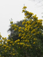 yellow - broom 14-4-15