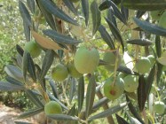 olives-fattening-thankful-for-recent-rain