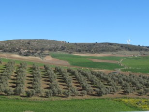 olives-green-fields